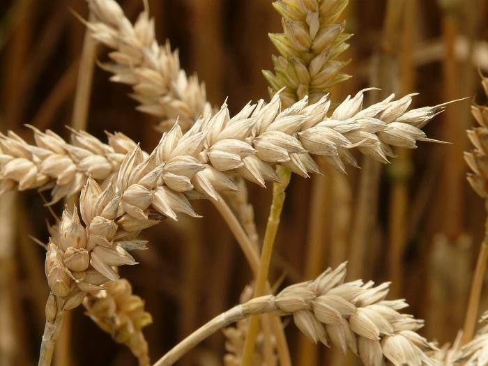 Pšenica a jej žatva